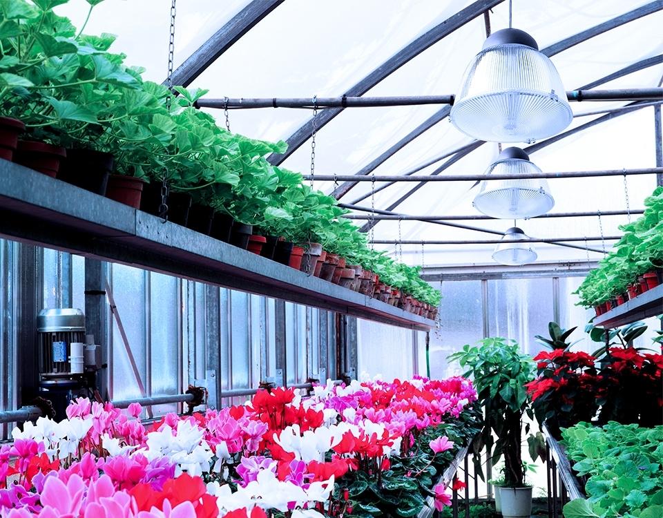 Greenhouse amelia